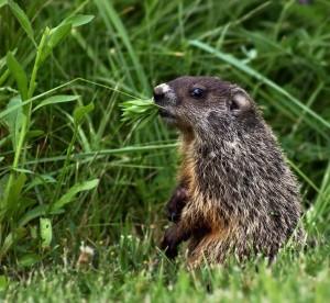 groundhog_munching_leaves_600